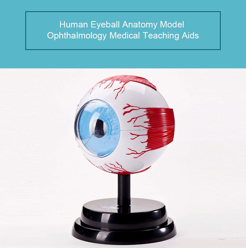 17 Off 2019 Human Eye Anatomy Model Set Ophthalmology Medical